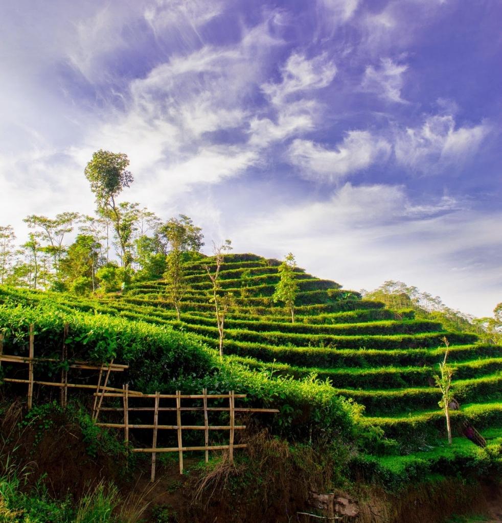 hamparan kebun teh nglinggo yang hijau