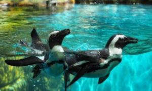 pinguin gembiraloka